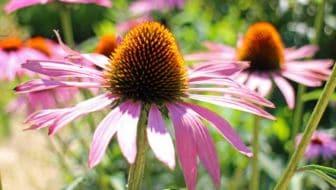 paarse zonnehoed voor bijen