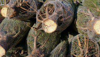 kerstbomen Nordmann spar te koop in net