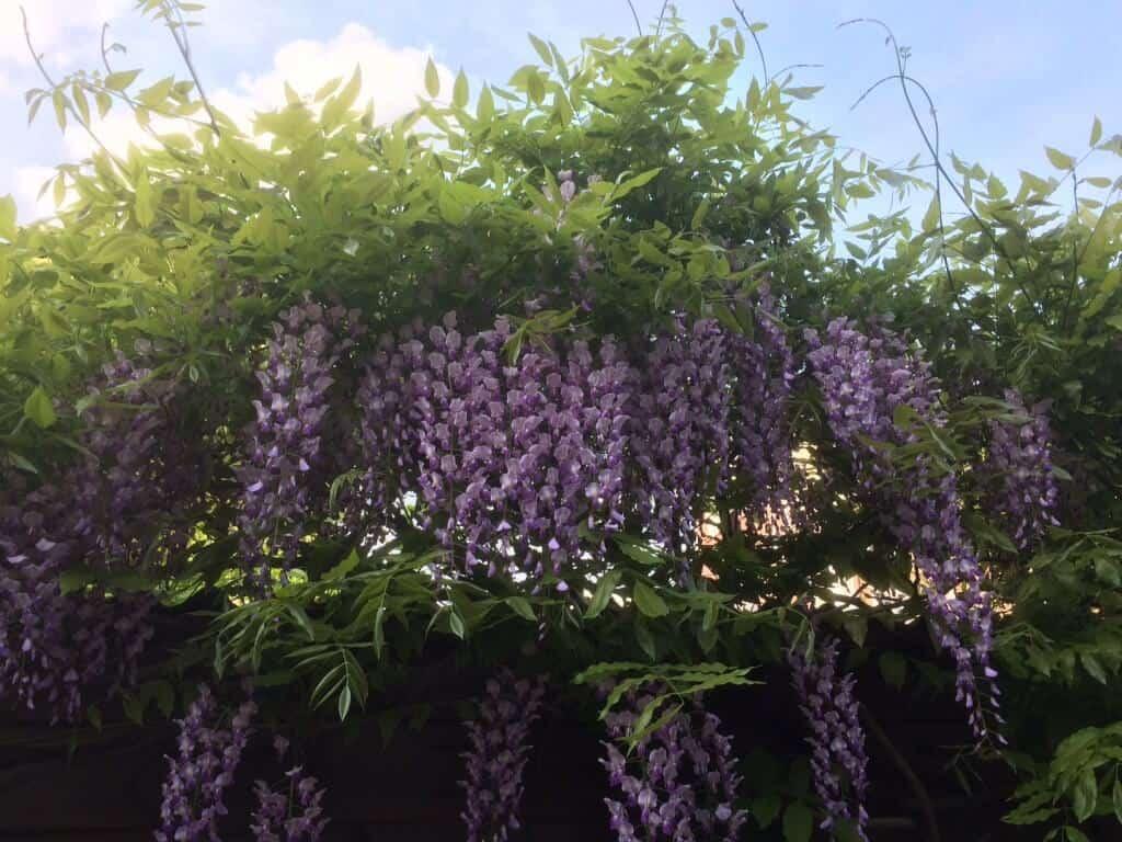 wisteria-blauweregen-in-bloei-copyright-tuinenbalkon-nl1