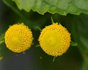 sechuan-buttons