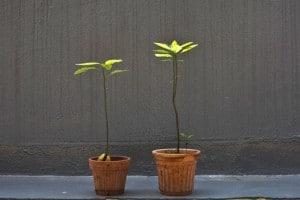 avocado-plant