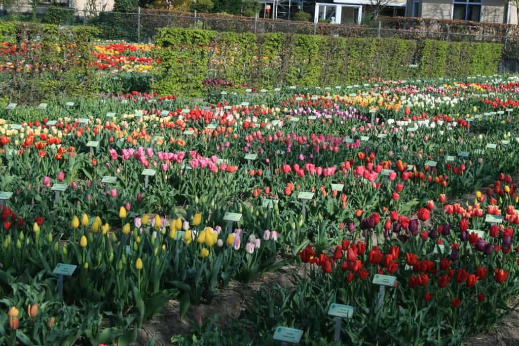 """De hortus bulborum biedt veel oude, """"vergeten"""" bloembollen. De keuze is reuze!"""