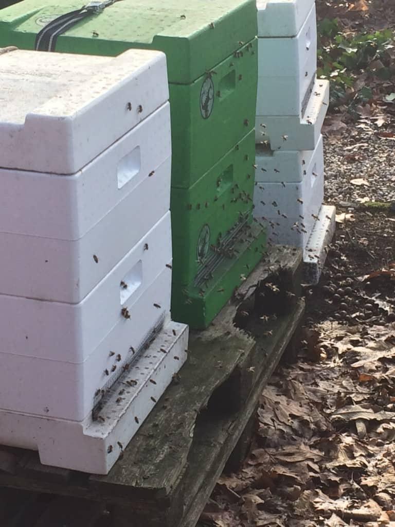 eerste vliegende bijen in de winter