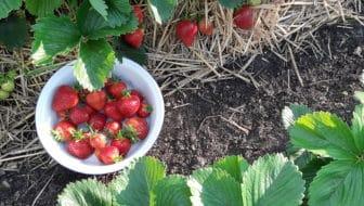 Aanleg van een aardbeienbed.